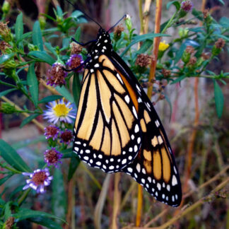 Monarch preview