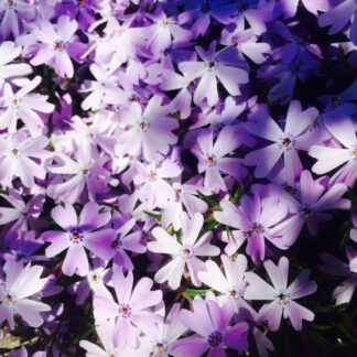 Spring Phlox preview