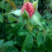 Longwood Rose 1